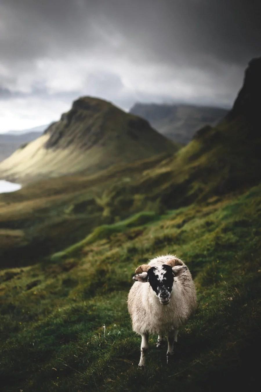 sheep quirang