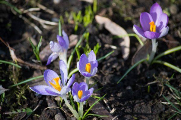 Krokusse im Frühling