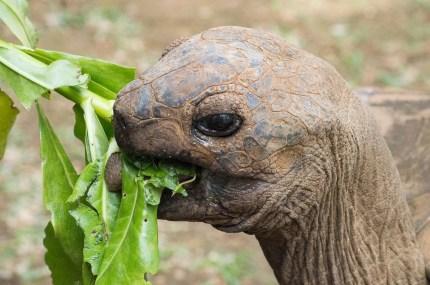 Riesenschildkröte auf Mauritius