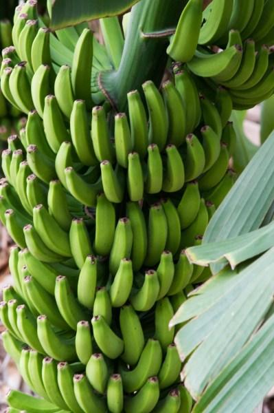 Bananen Hermigua