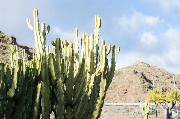 Kanarenwolle auf La Gomera