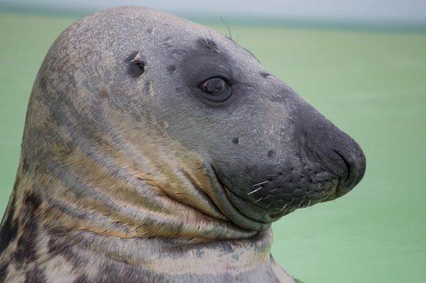 Seehund auf Texel