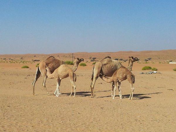 Kamele mit Babys im Oman