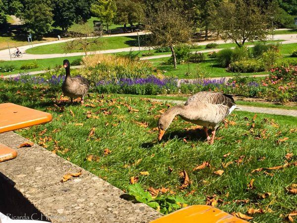 Geese Westpark Munich