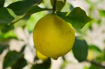 Growing Lemons at Lake Garda