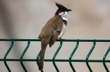 Red-whiskered bulbul in Mauritius