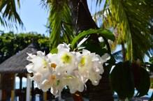Sumptuous frangipani at Villa Anakao Mauritius