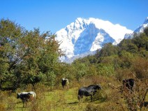 Cows in front of the Annapurna