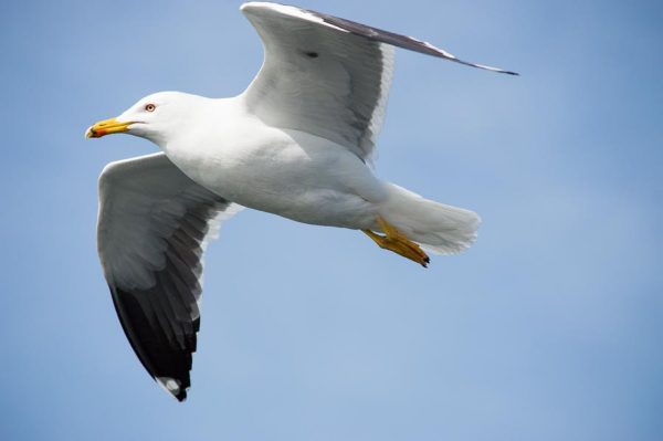 Seagull near Texelv