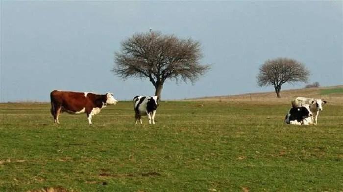 Лятото на 2019 г., в Орегон нещо убива и осакатява крави и бикове