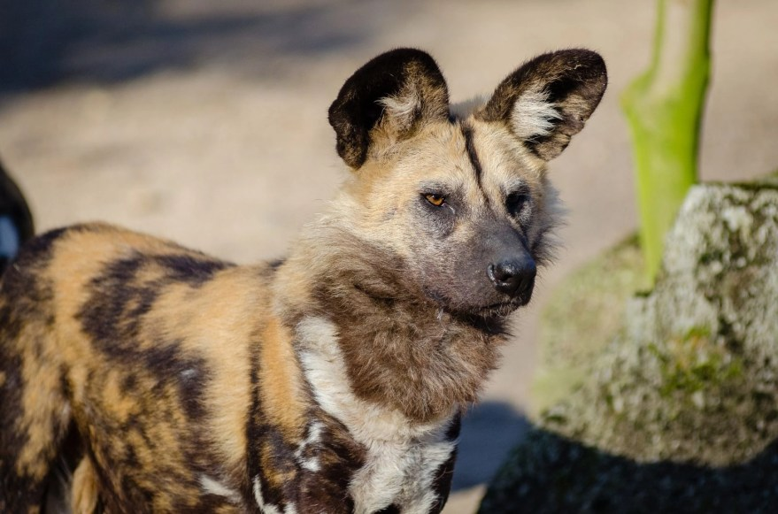 10 Fascinating Facts about Painted Dogs | Hideaways
