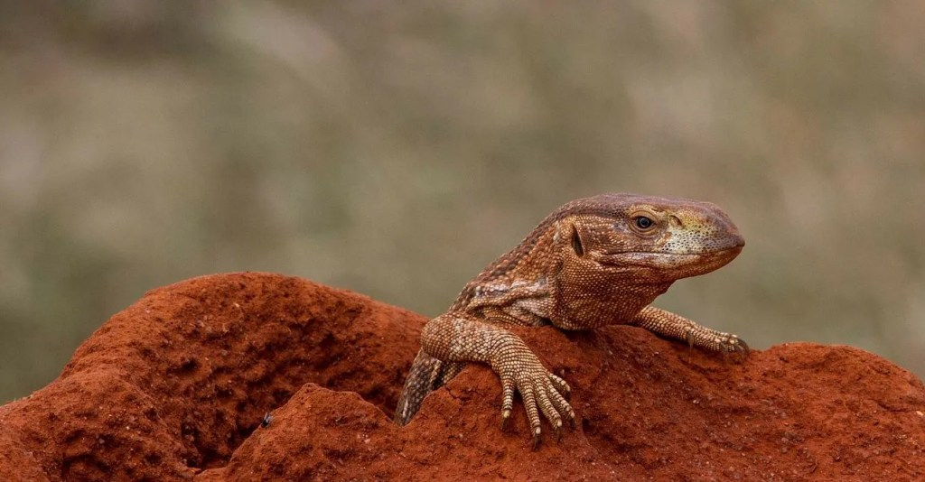 Things You Didn't Know About Africa's Largest Lizard, The Monitor Lizard