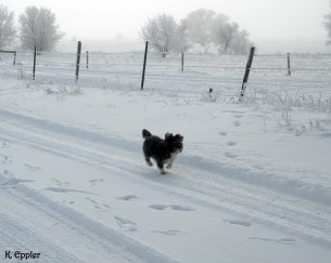Rider, figuring out that in snowy weather, little dogs travel easier in tire tracks.