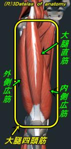 大腿四頭筋 外側広筋、内側広筋、大腿直筋