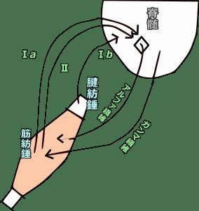 脊髄とニューロンの連結