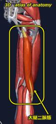 大腿二頭筋