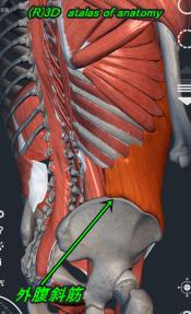 外腹斜筋 側面