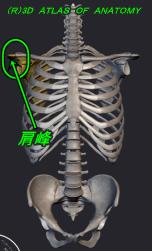肩峰 解剖