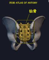 褥瘡のできやすい仙骨部の解剖