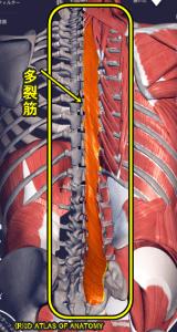 多裂筋,解剖