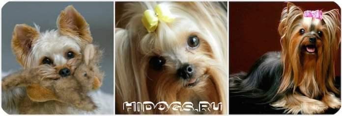 Йоркширский терьер, все что нужно знать о зубах своей собаки, уход за зубами, смена зубов.