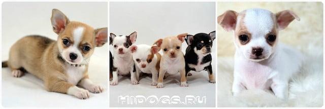 Маленькие щенки чихуахуа.