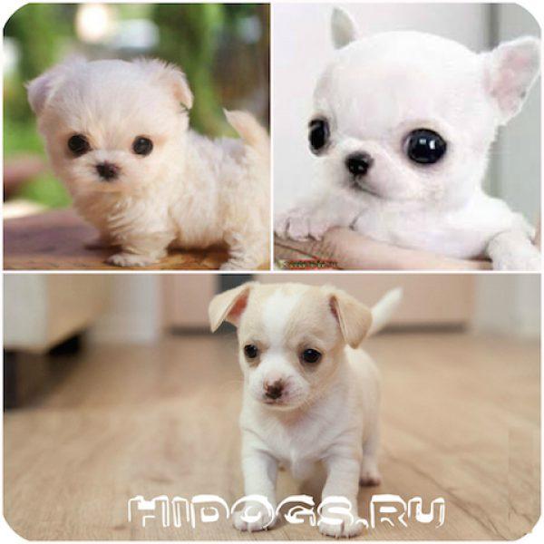 chihuahua_mini_chih
