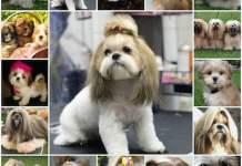 Особенности породы лхасского апсо, содержание и уход, история породы, щенки и взрослые собаки, особенности характера.