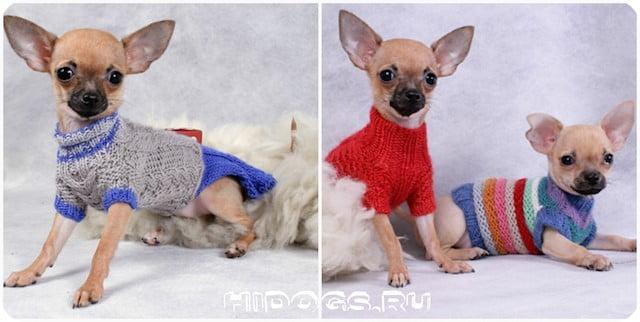 Два щенка чихуахуа в свитерах ручной работы.