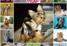 Продолжительность жизни малышей йорков, сколько живут йорки, качество жизни собаки, уход.