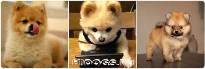 Померанский шпиц: плюсы и минусы породы немецкого, померанского шпица, что нужно знать о собаке.