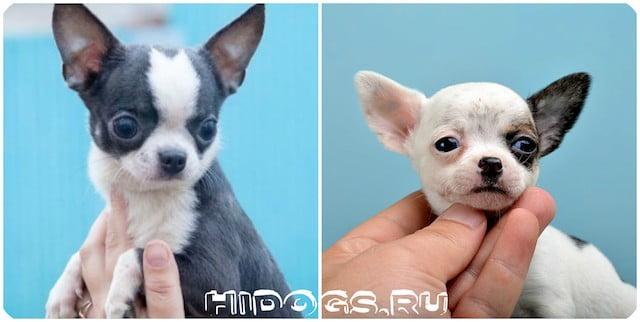 Два миленьких щеночка чихуахуа.