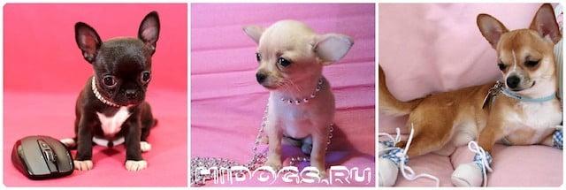 Мини-собачки в розовом - это очень гламурно.