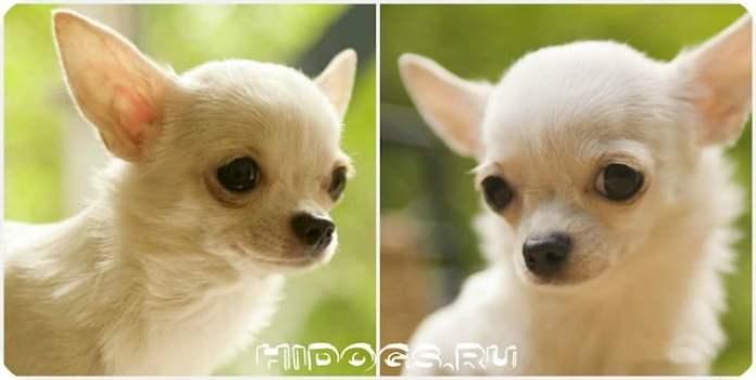 Как назвать собаку породы чихуахуа, как правильно подобрать имя, варианты кличек для собаки.
