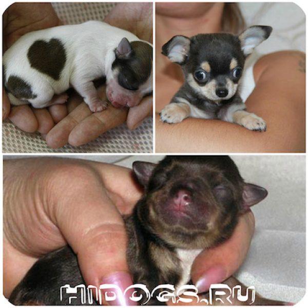 Новорожденные щенки.