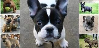 Описание стандарта породы французского бултдога, вес и рост, отклонения от нормы, допустимый окрас, здоровье собаки.