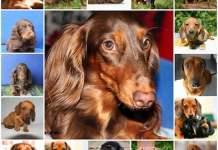 Первая течка у собак породы такса, как проходит, как начинается, этапы и симптомы.