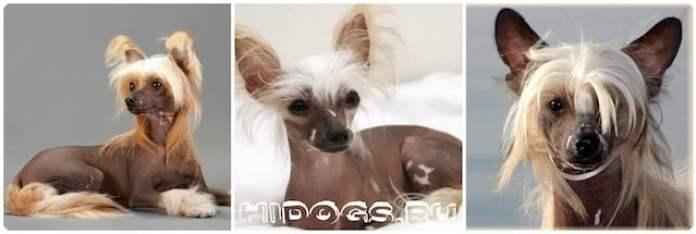Китайская хохлатая собака - происхождение, здоровье, уход и содержание, самое важное о породе.