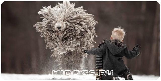 Интересная собака - Комондор, необычная внешность, описание, история, уход и здоровье пса.