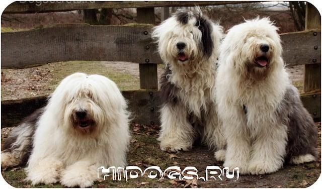 Топ пород для собак пастухов, лучшие овчарки - пастухи с описанием и фотографиями.