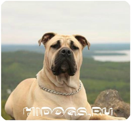 Все о породе собак: Ка де Бо (Майоркские мастифы) особенности, уход, содержание.