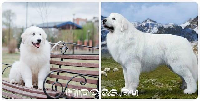 Пиренейские горные овчарки и особенности породы, стандарт, важное в уходе, питание животного.