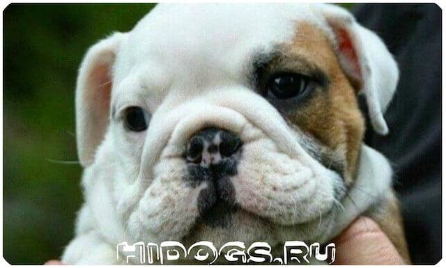 Описание собак - Английских бульдогов, особенности породы, стандарт, уход и содержание, здоровье.