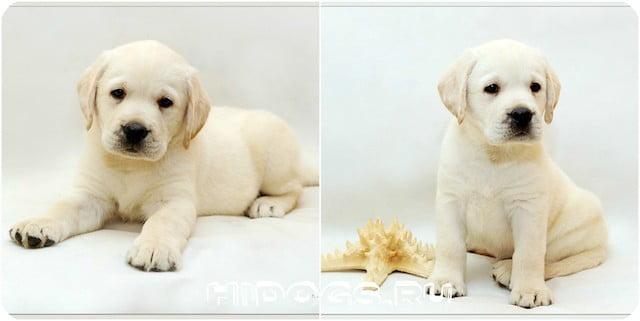Как развивается щенок - лабрадора от рождения до года жизни, кормление малыша, вес и рост по месяцам.