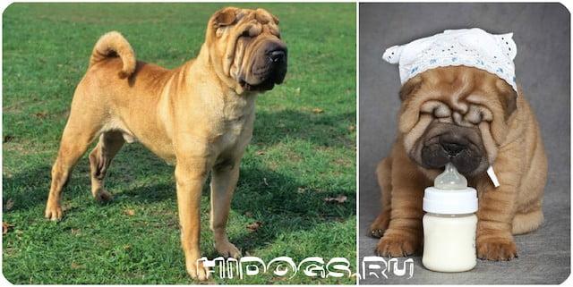 Все о породе собак - Шарпее, особенности содержания, кормления и ухода, стандарт породы и его описание.
