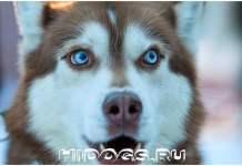 Описание породы собак - сибирских хаски, особенности воспитания, стандарт, как кормить и выбрать щенка.