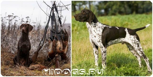 Особенности охоты с собакой - курцхааром, как обучить и выбрать себе щенка, особенности воспитания и содержания.