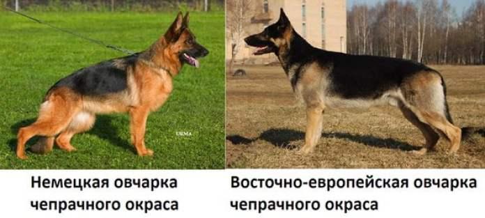 Чем отличается ВЕО от немецкой овчарки, сравнение двух пород, отличия друг от друга.