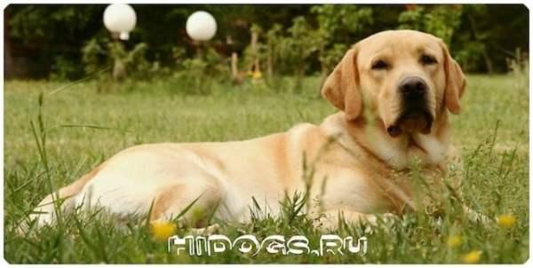 Лабрадоры ретриверы, все о породе, описание, особенности, уход и здоровье собаки, как выбирать щенка.