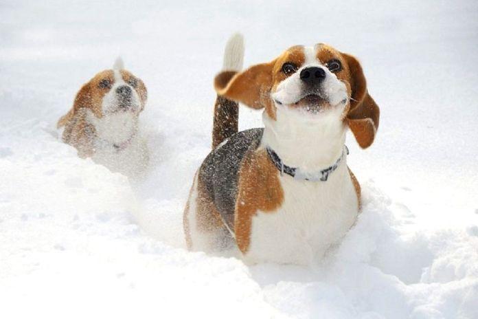 Бигль в снегу.